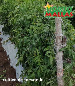 cultivo-de-tomates