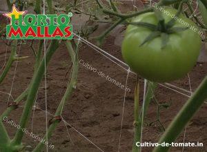 tomate entutorado con la red de soporte hortomallas