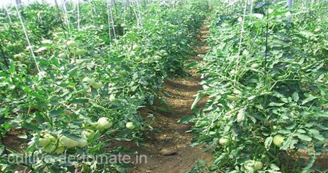 Cultivo de tomate en crecimiento con soporte HORTOMALLAS