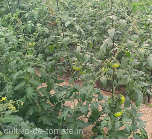 Cultivo de Tomate Verde entutorado