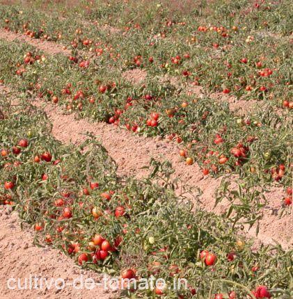 cultivo de tomates sin soporte