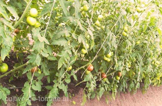 plantas de tomate grandes