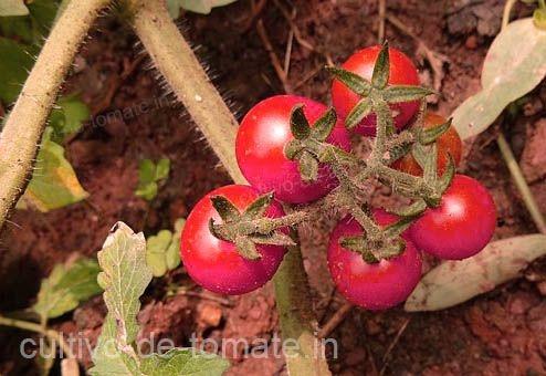 tomates rojos cerca del suelo