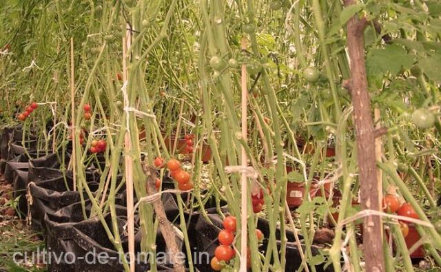 diversos métodos para entutorar los cultivos de tomates