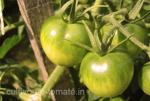 tomates verdes entutorados